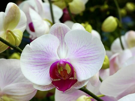 white orchids: close up of white orchids