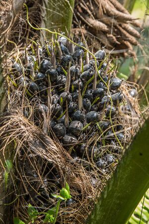 bio diesel: black palm fruit on the tree for bio diesel production Stock Photo