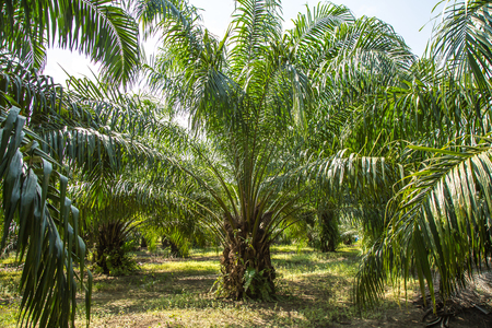 biodiesel: Oil Palm Plantation for manufacture biodiesel Stock Photo