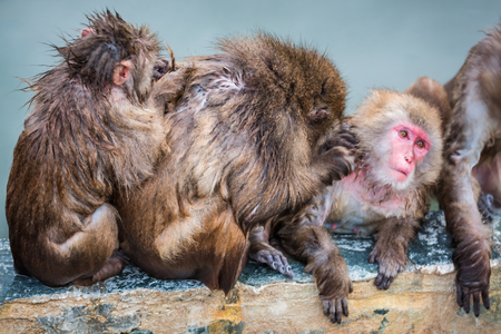 Relaxation of Japanese snow monkey onsen (macaques) in winter 스톡 콘텐츠