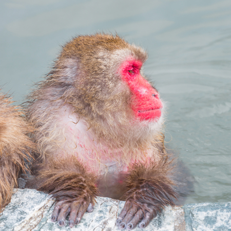 Closeup view of Japanese snow monkey onsen (macaques) in the pool in winter Stock Photo