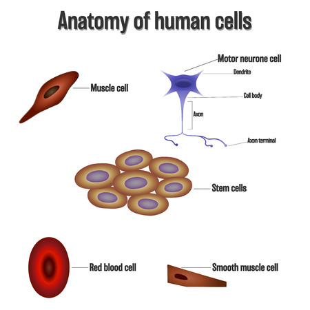 Anatomy of human cells isolated on white background as Health care and science concept. vector illustration. Vector Illustration