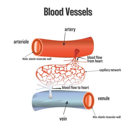 Blutgefäßsystem isoliert auf weißem Hintergrund als Gesundheits- und Wissenschaftskonzept. Vektorillustration.