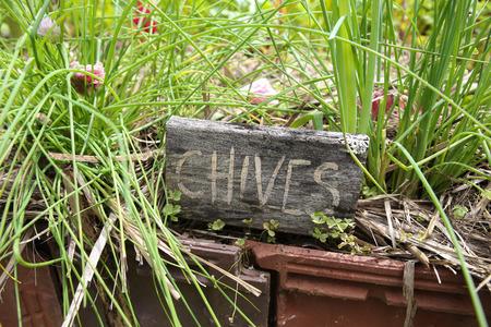 cebollines: marcadores de hierbas rústicas, cebolletas Foto de archivo