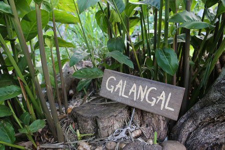 galangal: Rustic Herb markers, Galangal Stock Photo