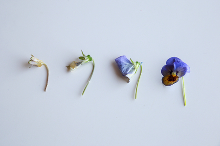 wilting: Life of purple pansy flower