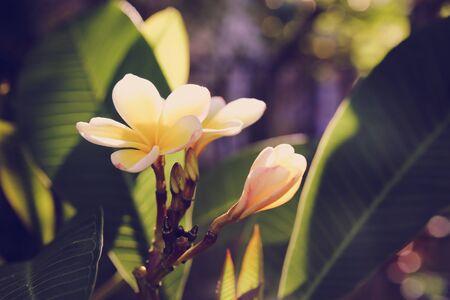 toning: Frangipani or Plumeria flowers, selective focus, toning