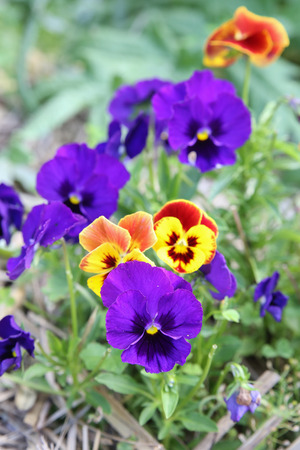 pesticide free: Mixed organic colorful pansy viola flowers in garden, selective focus