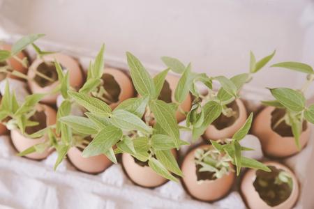 fiatal növények tojáshéjban, öko koncepció Stock fotó