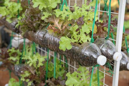 growing lettuce in used plastic bottles, reuse recycle eco concept 版權商用圖片