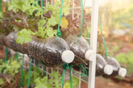 growing lettuce in used plastic bottles, reuse recycle eco concept, toning