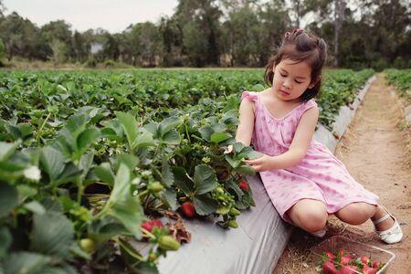 little Asian girl picking fresh strawberry on organic strawberry farm