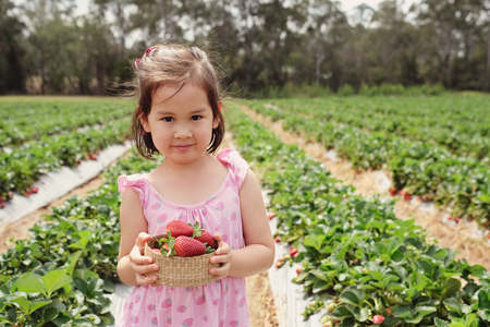 young Asian girl holding a box of fresh strawberries on organic strawberry farm