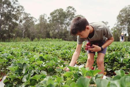 young Asian boy picking fresh strawberry on organic strawberry farm