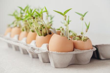 seedling plants in eggshells, eco gardening,  montessori, education concept Stock Photo