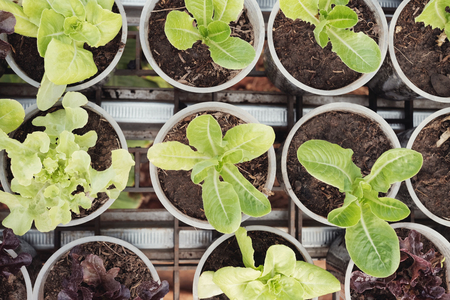 growing lettuce in used plastic cups, reuse recycle eco concept