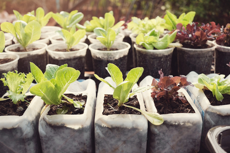 growing lettuce in used plastic bottles and cups, reuse recycle eco concept Stock fotó