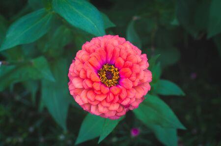 orange zinnia flower in flower field Stock Photo