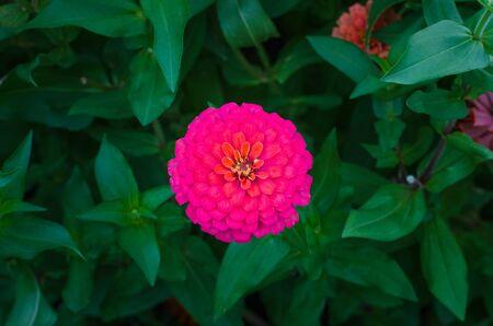 pink zinnia flower in flower field