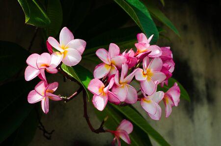 scent: frangipani, plumeria flower on the tree