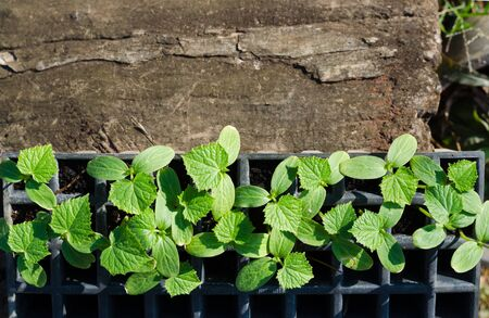 cucumber plant in seedling tray with sunlight at morning.