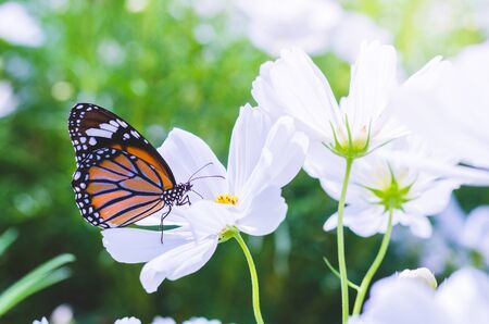 beautiful butterfly on cosmos field in the park.