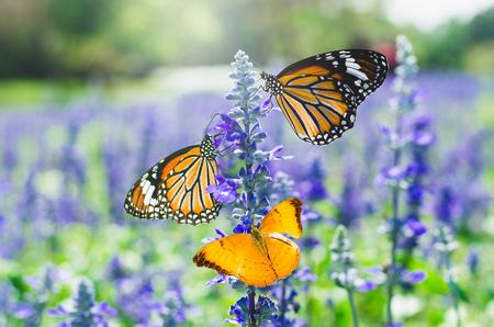 tree butterfly on lavender flower in lavender fields