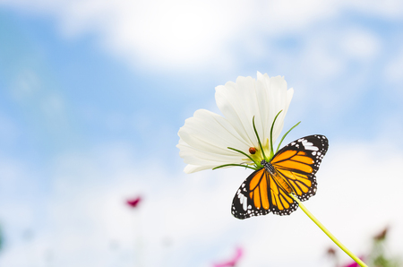 butterfly on cosmos flower with blue sky in the park.