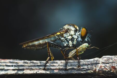 asilidae: robber fly eating on tree branch. Stock Photo