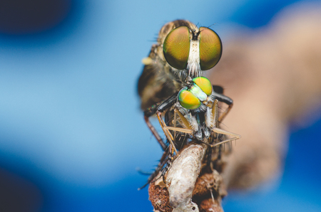 asilidae: robber fly eating on dry branch.
