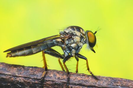 asilidae: robber fly on branch.