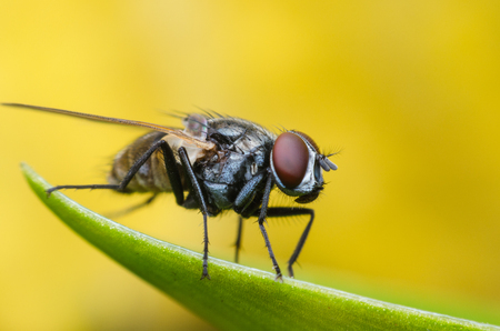 insect fly, green housefly on green leaves with yellow background.