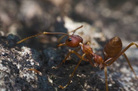 back view of red ant standing on tree bark.