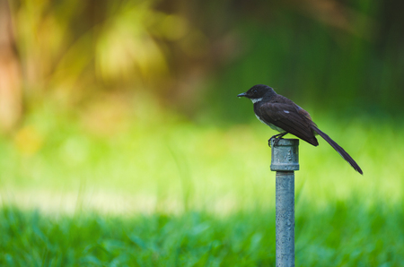 thailand magpie bird stand  on water sprinklers with green grass in public park. Stock Photo