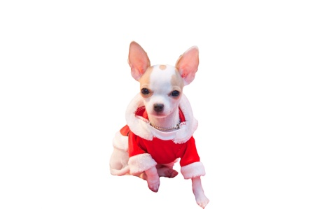 Chihuahua in santaclaus suit on white isolated background