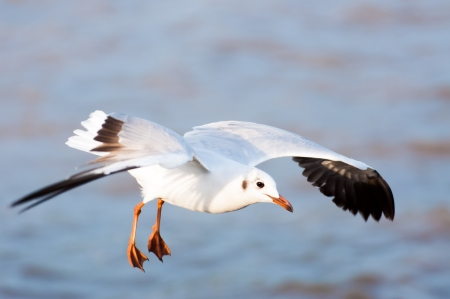 Flying seagull on sea background