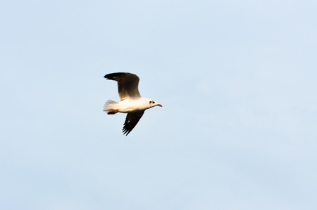 Flying seagull on sky background