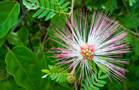 Albizia flor photo