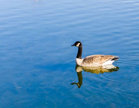 Swimming goose in the river backgound