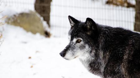 Portait of gray wolf