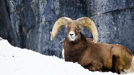 bocinas: Retrato de Big Horn ovejas