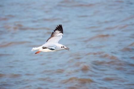 Flying  seagull at Bangpoo, Thailand  Stock Photo