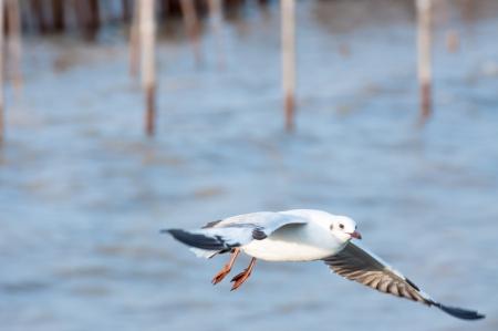 Flying seagull at bangpoo, Thailand