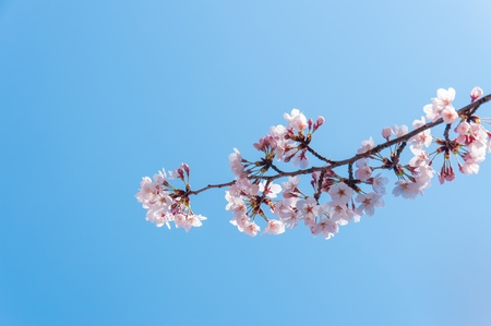 Cheery blossom flowers on spring day, April 7, 2012