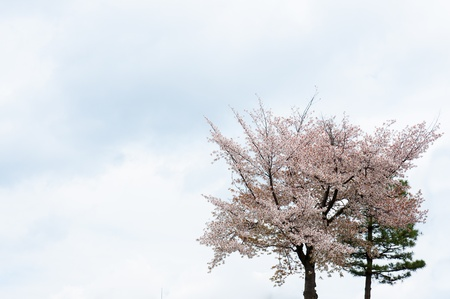 beautifully blossoming cherry tree on sky background