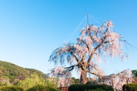spring blooming cherry trees in pink at Maruyama Park, Kyoto, Japan