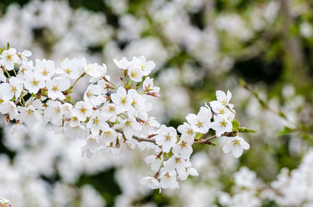 Cherrys Blossoms in April 15, at Kawaguchigo Lake, Japan