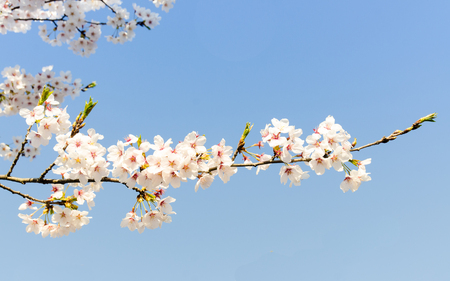 Cherrys Blossoms in April 15 with blue sky background, at Kawaguchigo Lake, Japan