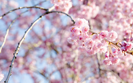 april 15: Pink Cherrys Blossoms in April 15, at Kawaguchigo Lake, Japan Stock Photo