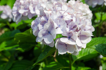 closed up of violet hydrangea
